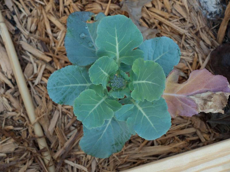 Baby Broccoli.jpg